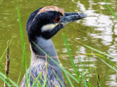 yellow-crowned night heron ud35