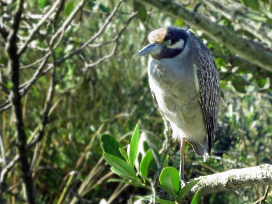 yellow-crowned Night Heron Sand Key, Clearwater, Florida