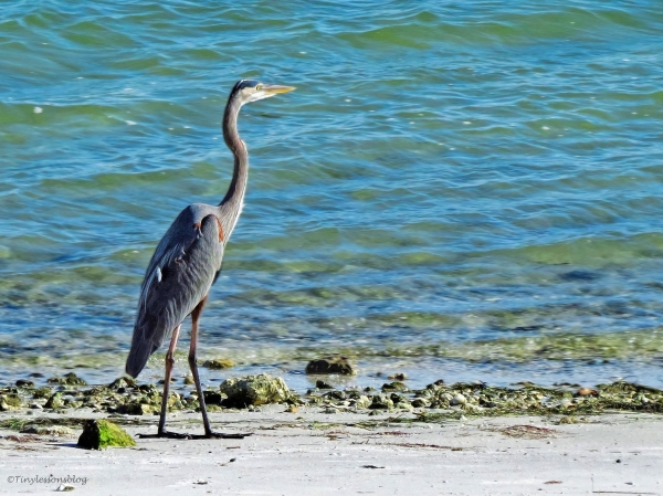 young great blue heron Sand Key, Clearwater, Florida