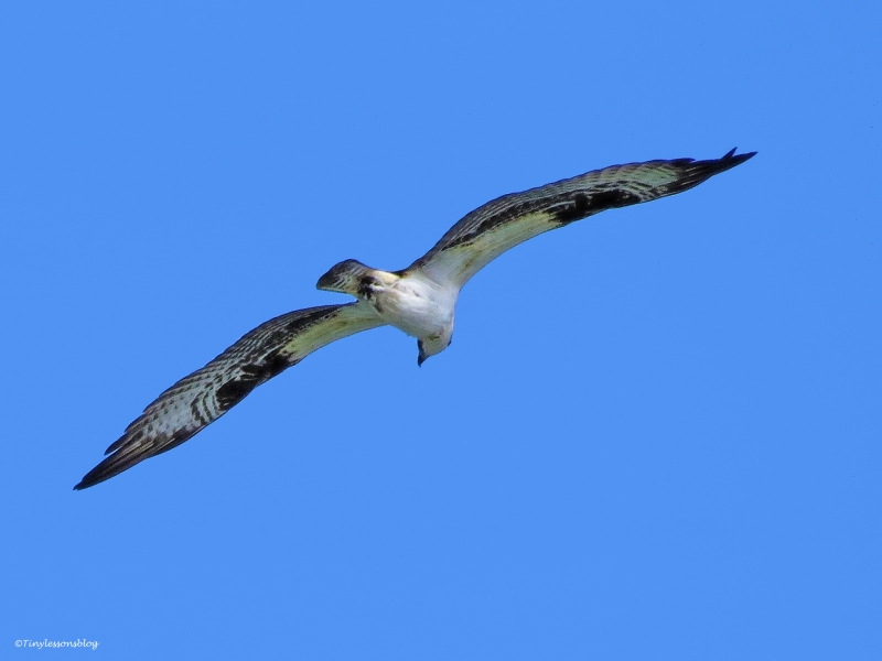 young male osprey in flight