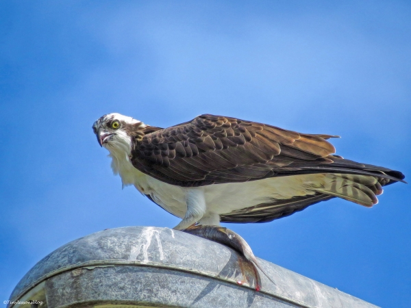 young male osprey