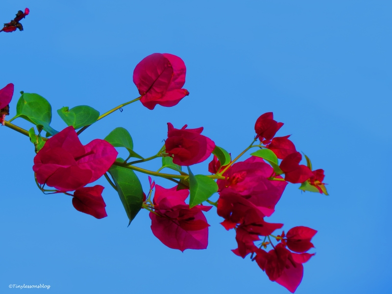 bougainvillea flower