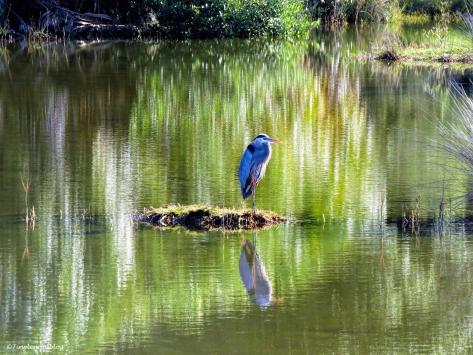 great blue heron 2 ud43