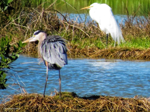 great blue heron mayor ud44