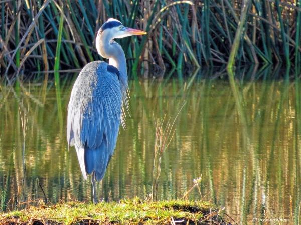 great blue heron ud43