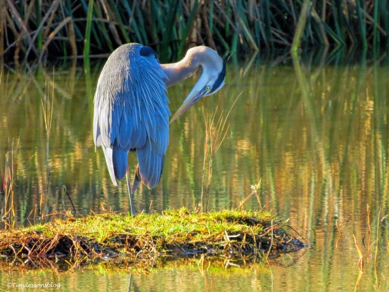 great blue heron ud45
