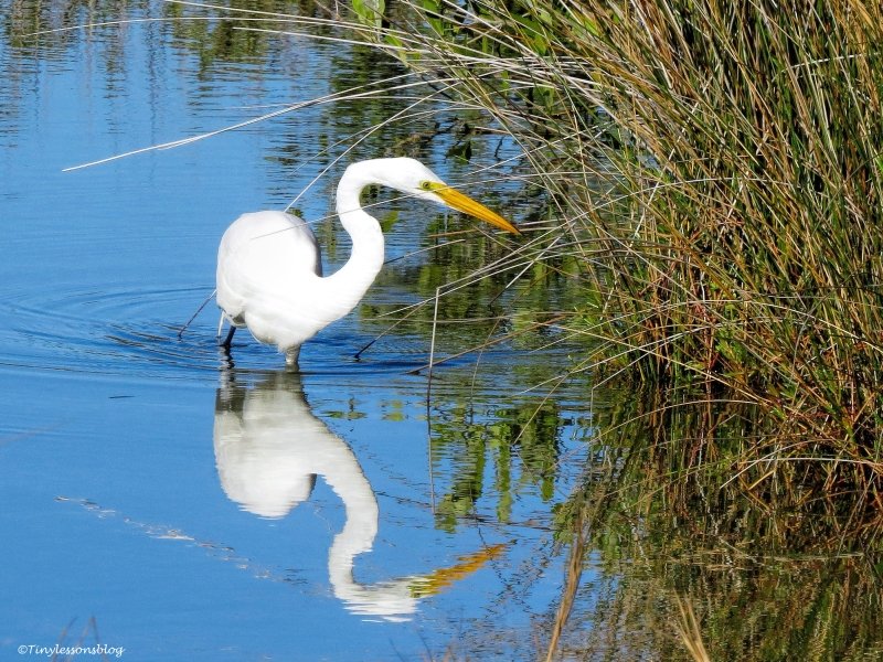 great egret fishing ud43