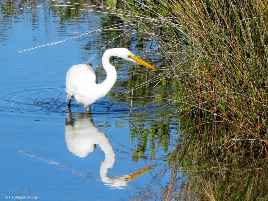 great egret fishing ud43