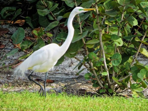 great egret growing breeding plumage