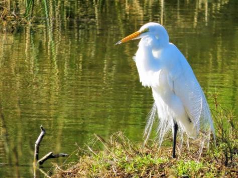 great egret in breeding plumage ud44