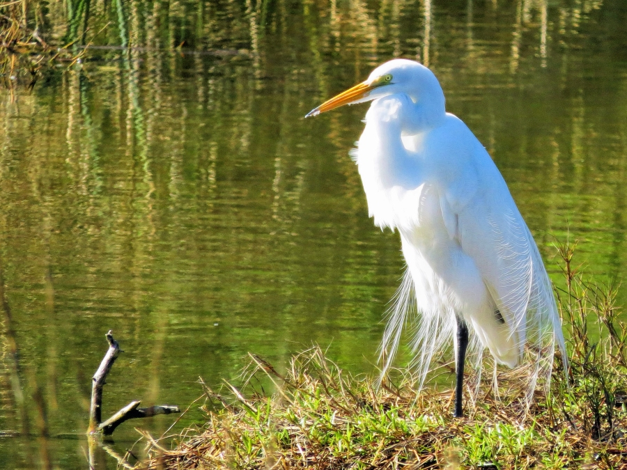 great egret in breeding plumage ud44
