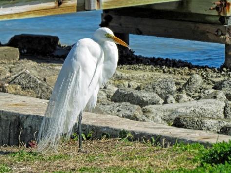 great egret ud44