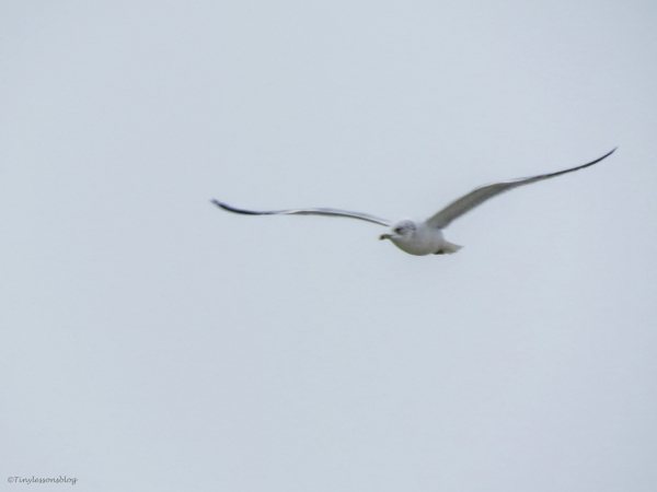gull flying on LTI beach