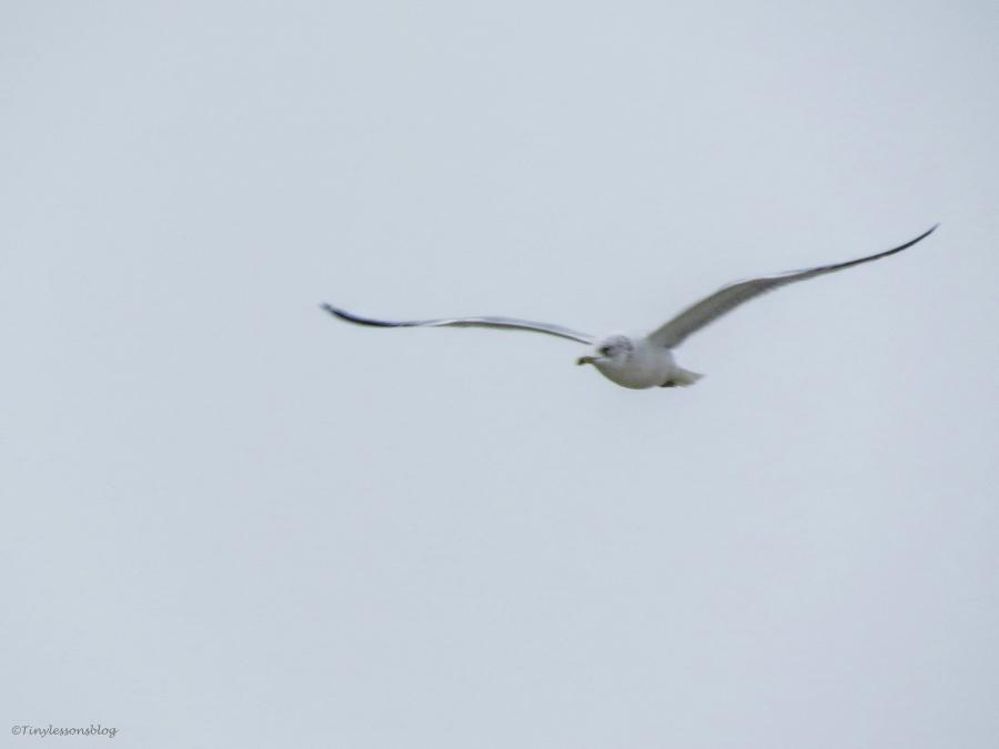 gull flying on LTI beach