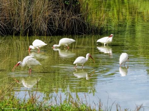 ibis feed in circle