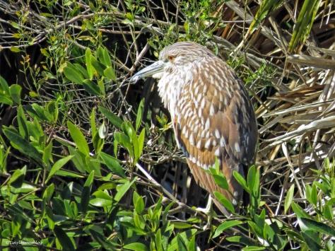 juvenile night heron ud44