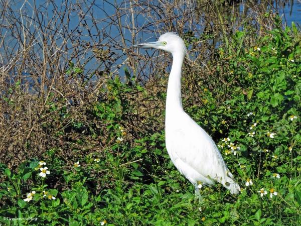juvenile snowy egret ud44