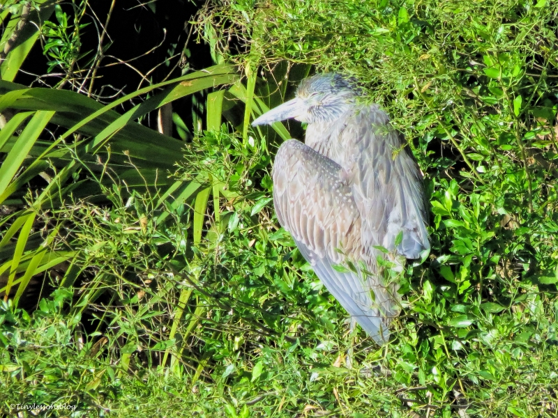 juvenile yellow-crowned night heron ud43