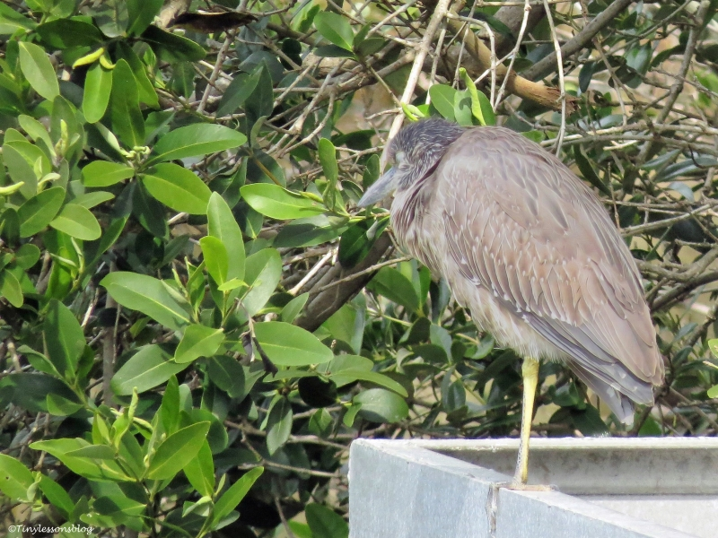 juvenile yellow-crowned night heron ud45
