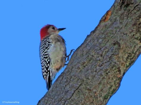 male red-bellied woodpecker ud43