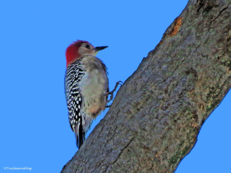 male red-bellied woodpecker ud43