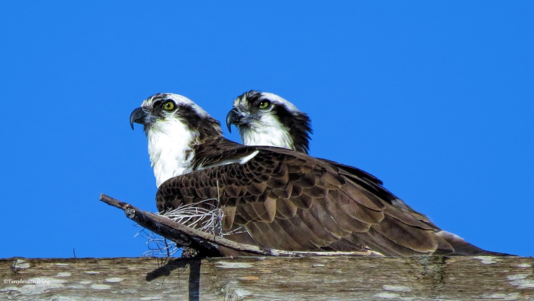 mama and papa osprey at the nest ud43