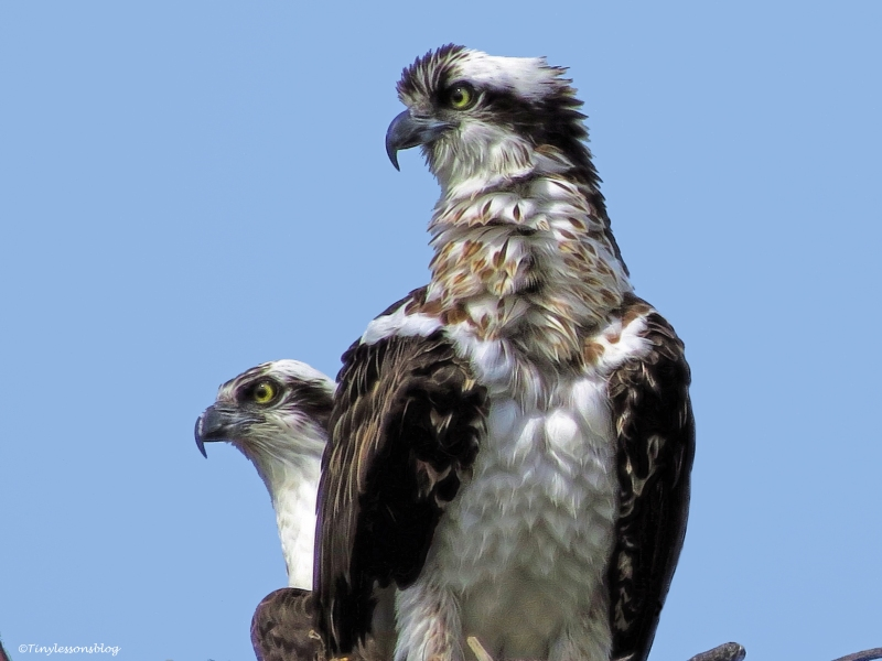 mama osprey and papa oprey ud45