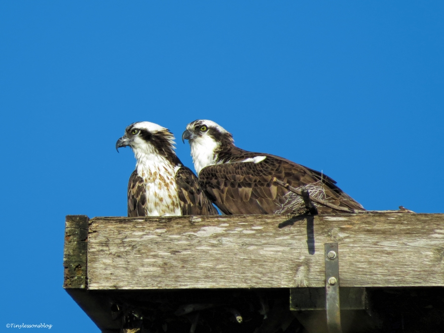 mama osprey and papa osprey at the nest ud43