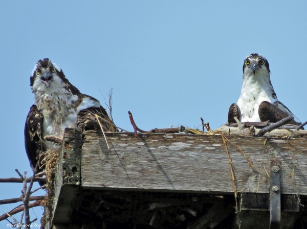 mama osprey asks for fish ud45