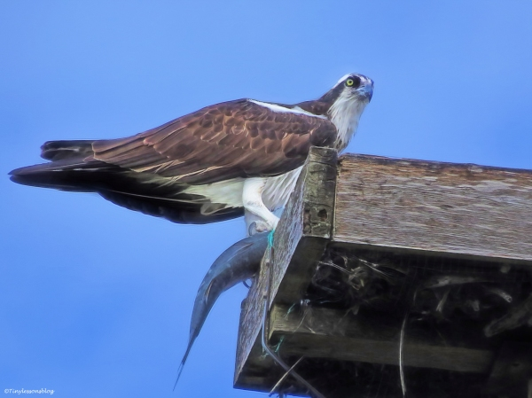 female osprey with a fish