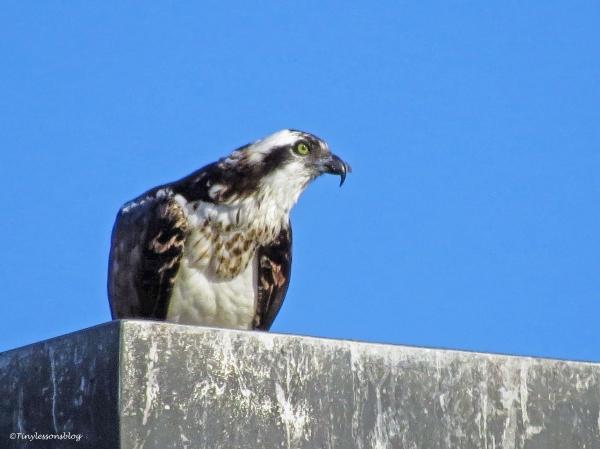 mama osprey eats her fish ud43
