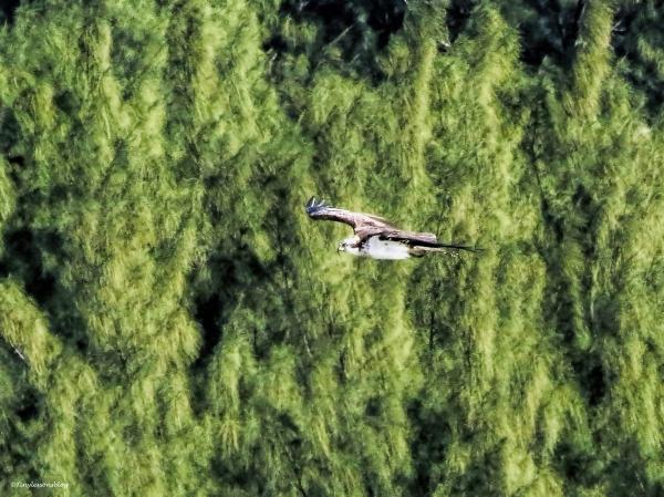 mama osprey in flight ud43