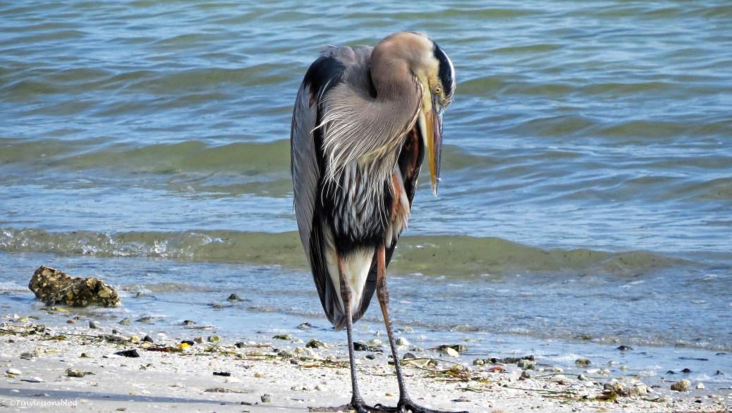 mayor great blue heron on the bay side ud41