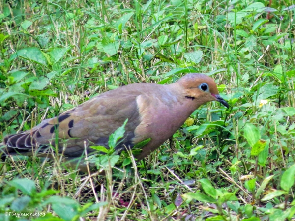 mourning dove UD45