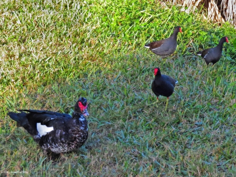muscovy duck defends the moorhens ud43