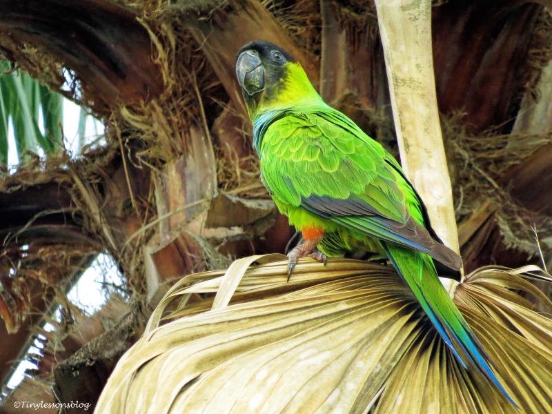 nanday parakeet 2 ud45