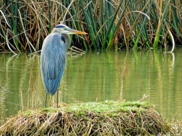 older great blue heron