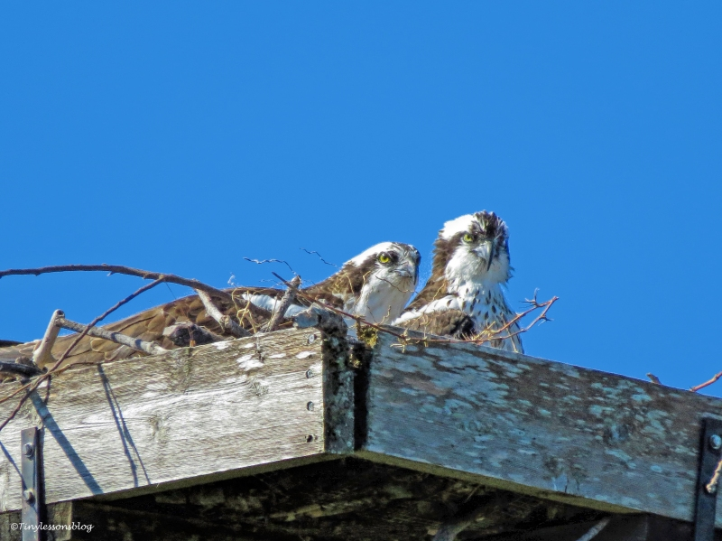 papa and mama osprey at the nest ud44