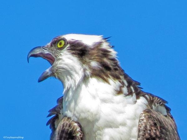 male osprey calling alarm