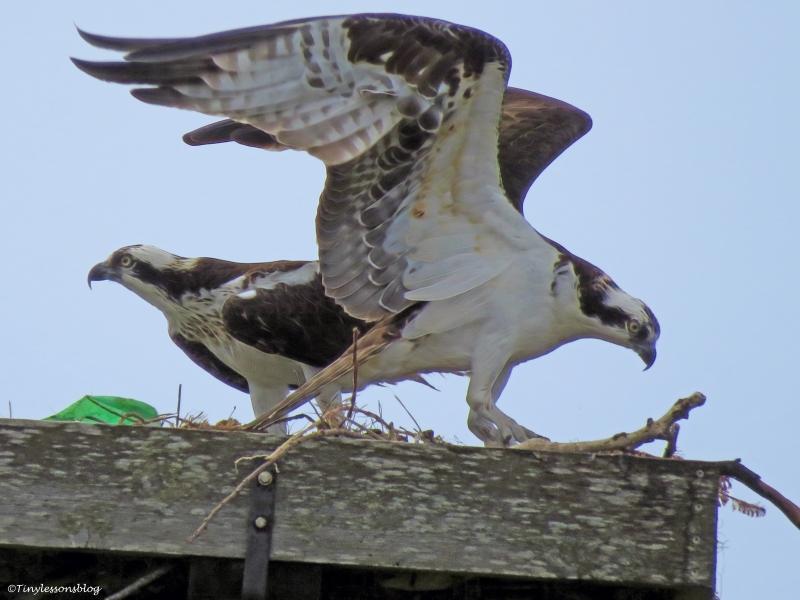 papa osprey arrived ud45