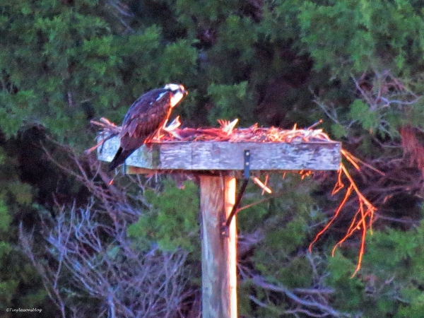 papa osprey at the nest ud43.jpg