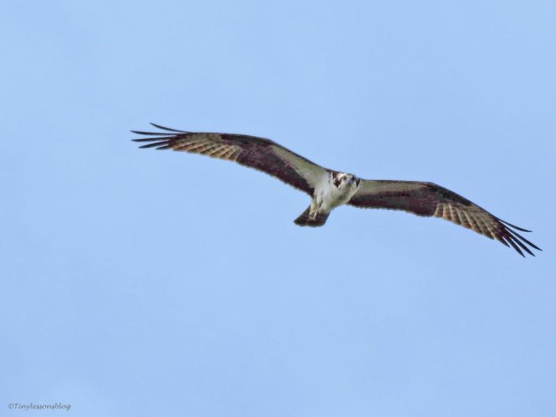 papa osprey flying ud45