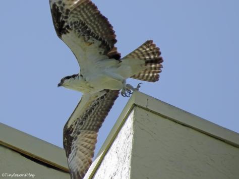 papa osprey goes fishing ud45