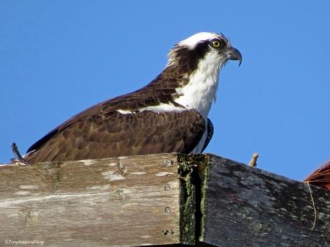 papa osprey is minding the nest ud43
