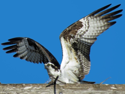 papa osprey leaves the nest 2 ud43