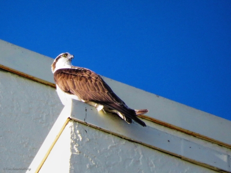 papa osprey looks at mama ud43