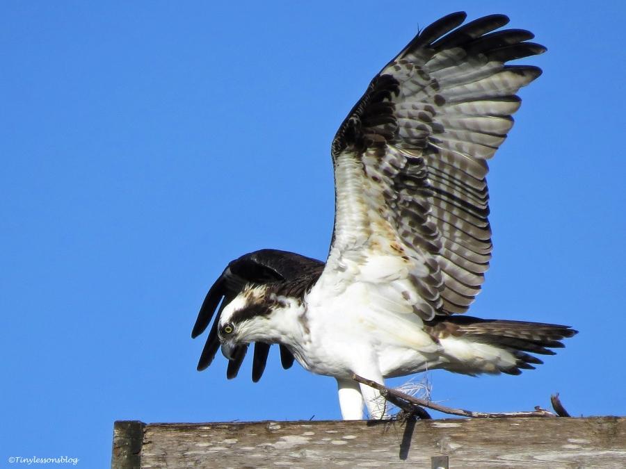 papa osprey working ud43