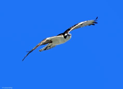 papa ospreys sky dance 3 ud43