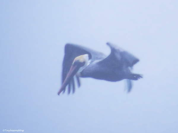 pelican in the fog
