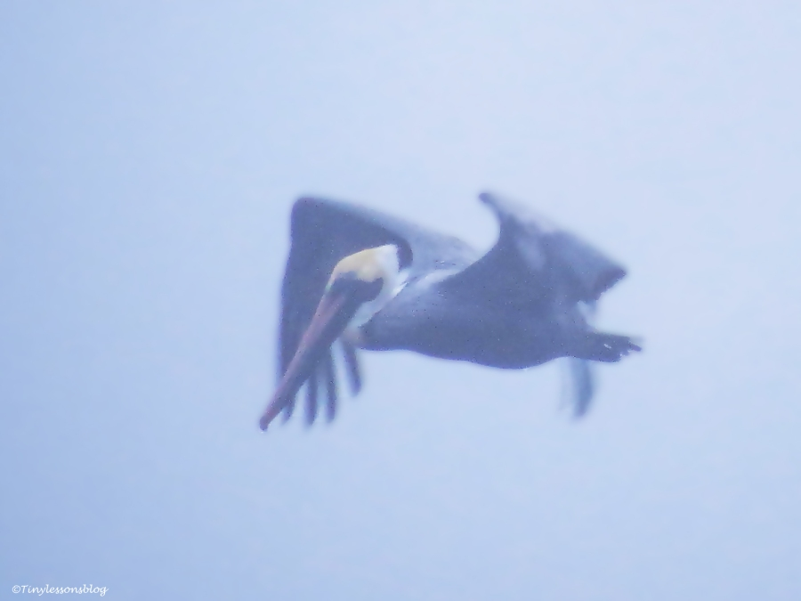 pelican in the fog